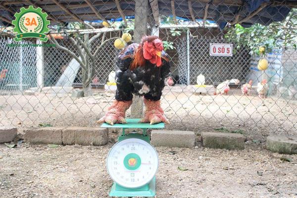 Cách nuôi gà Đông Tảo tăng doanh thu hiệu quả